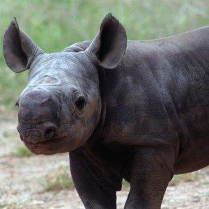 Australian Zoo Welcomes Rare Baby Rhinoceros