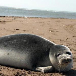2 Caspian Seals Found Dead