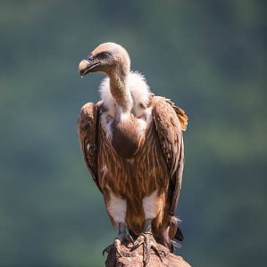 India's Vulture Numbers Down From Millions to Thousands in Two Decades