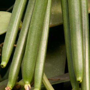 Crisis in Madagascar as Vanilla Price Soars