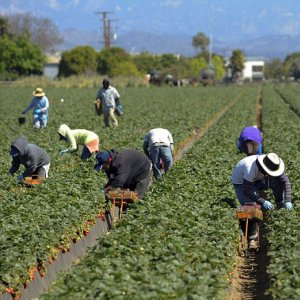 Undocumented workers are heavily concentrated in sectors such as agriculture, construction and hospitality.