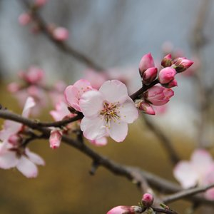 Warm Days See Early Almond Blooms in Yazd