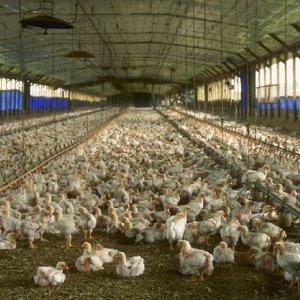 Chicken Exports Drop Due to Bird Flu
