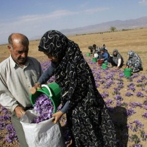 Saffron Sector Thrives on Cheap Women Labor