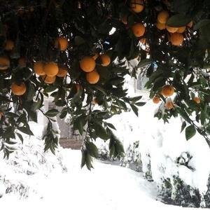 $240m Lost to Mazandaran Frost