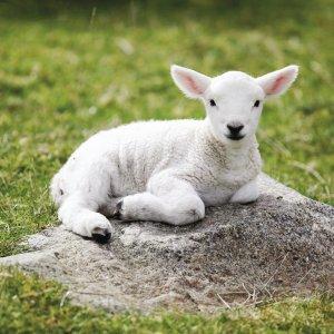 Armenia's Lamb Sales to Iran Increase