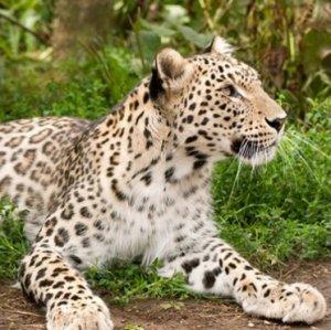 Leopard Deaths Declining