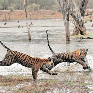 Tiger deaths have risen by 25% in the past year.