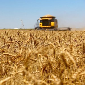 A record high of over 14 million tons of wheat were domestically produced this crop year.