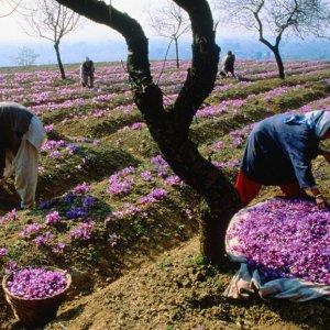 43% Rise in Saffron Production