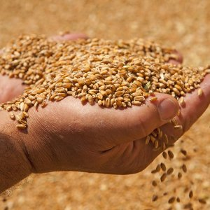 Iran to Export 2-3m Tons of Wheat Next Year