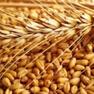 Gov't to Purchase More Wheat