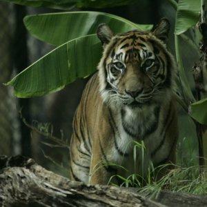 Oldest Captive Tiger Euthanized