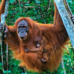 Orangutan Population Up Despite Threats