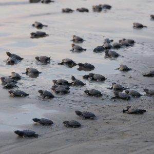 Egg-Laying Turtles Under Threat in Kish, Qeshm