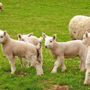 Fear of Ovine Rinderpest Epidemic in Tehran
