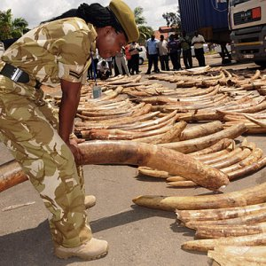 Ivory Poaching, Elephant Decline Continues