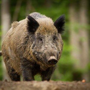 Radioactive Wild Boars Overrun N. Japan