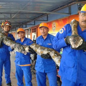 Longest Ever Snake Dies Mysteriously in Malaysia