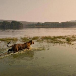 Tiger Numbers Worldwide Could Double by 2022