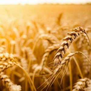 Wheat Imports Restricted, Not Banned