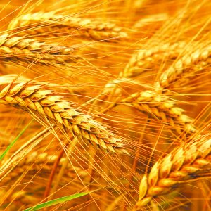 Iran produced about 14 million tons of wheat this year—the highest  in nine years.