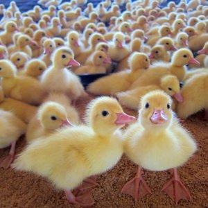 Dutch Destroy 190,000 Ducks in First Bird Flu Cull