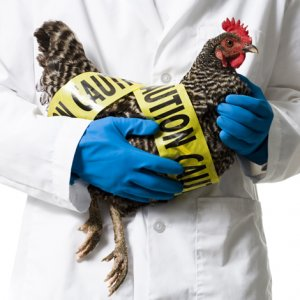 No Cases of Bird Flu in Humans