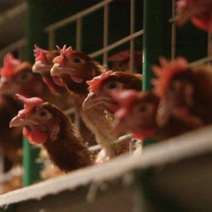 South Korea Confirms Highly Pathogenic Bird Flu Outbreak