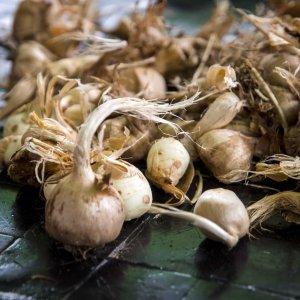 Raising Alarm About Saffron Bulb Smuggling