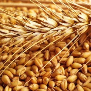 Ban on Wheat Import to Stay