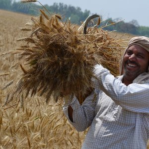 Gov't Wheat Purchases Up 18%