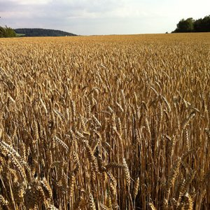 Wheat Production  at 13.4m Tons
