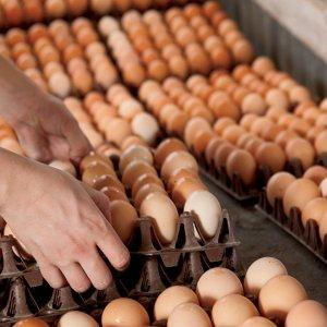 Egg Surplus