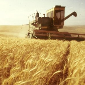 Gov't Wheat Purchases Near 11m Tons