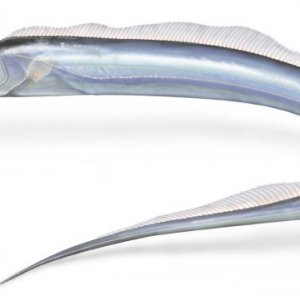 Cutlassfish Exports Rise 30%