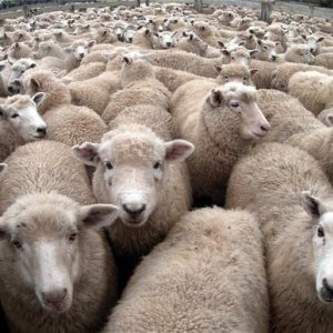 Livestock Exports to Persian Gulf Region
