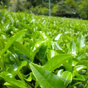 Gov't Tea Purchase Up 43%