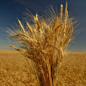 Gov't Wheat Purchase From Local Farmers Exceed 6m Tons