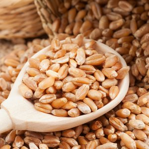 Wheat Production, Gov't Purchases at Record High