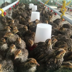 Quail Farming: Hitting the Jackpot