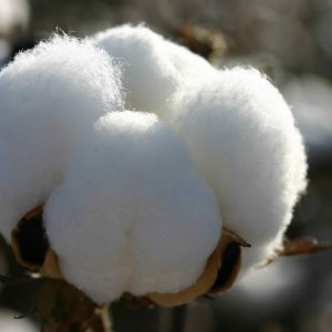 Currently more than 90% of Iran's need for cotton is imported from Uzbekistan.