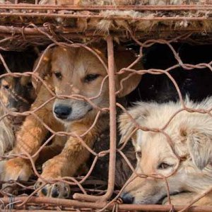 Petition Against Chinese Dog Meat Festival