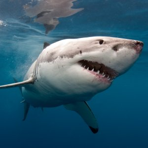 Great White Shark in S. Africa Nears Extinction