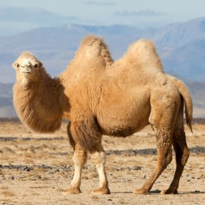 Bactrian Camels on the Brink