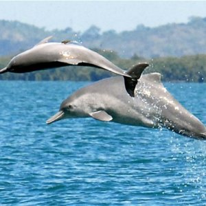 Humpback Dolphins Thriving in Persian Gulf