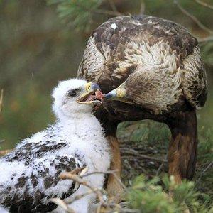 Two Golden Eaglets Die in Lorestan