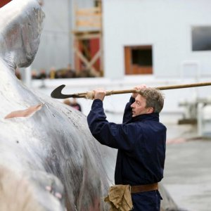 "Tourists Confused by Iceland Whaling ""Tradition"""