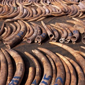 US Imposes Near-Total Ban on Ivory Trade