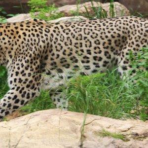 DOE Seeks Severe Punishment for Leopard Poacher